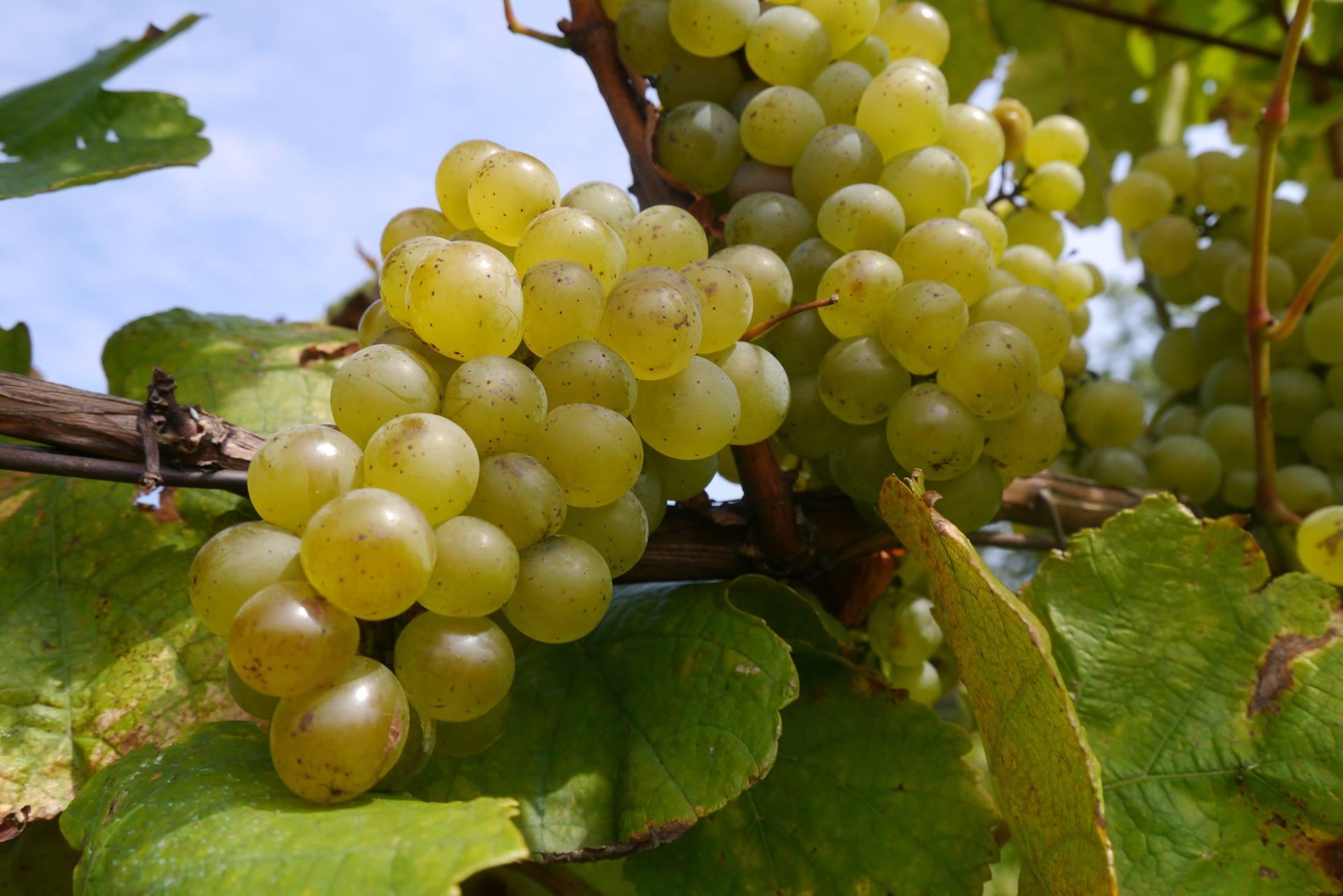 Vinár: Nechcel som sa pri práci otráviť, tak som začal pestovať ekologicky