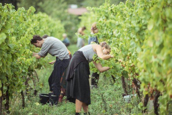 Oberačka v Michalovej vinici.