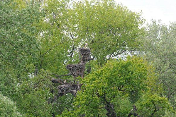 Bociania kolónia v Marcheggu. FOTO - bociany.sk