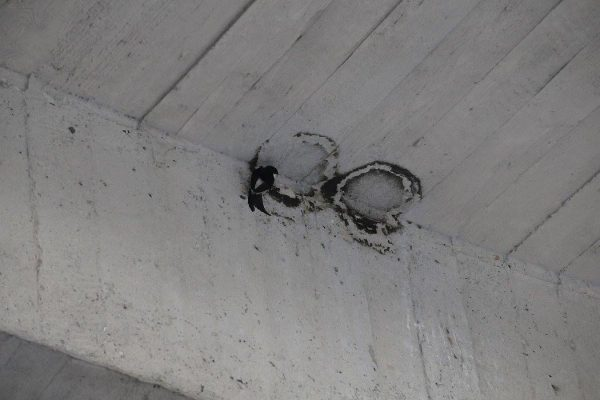 Belorítkam na bratislavskom Moste SNP zhodili pri čistení 66 hniezd. FOTO - SOS/BirdLife Slovensko