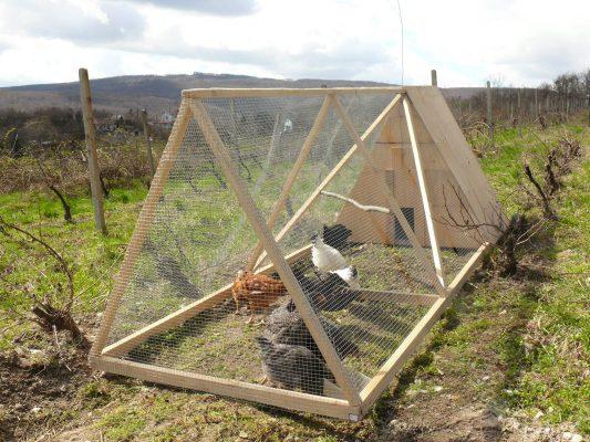 V Michalovom vinohrade pobehujú sliepky.