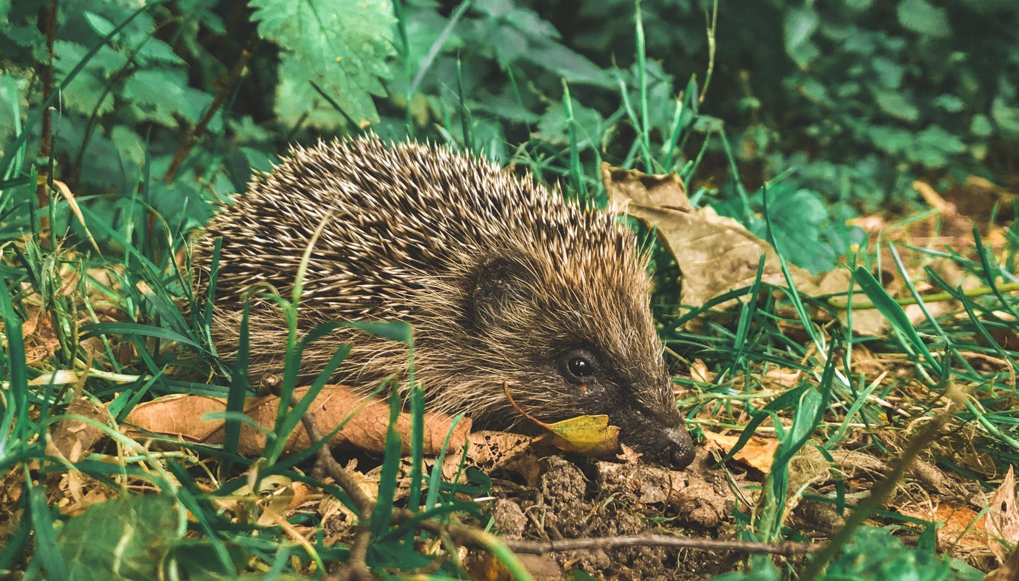 AUDIO: Ako pomôcť ježkom prežiť