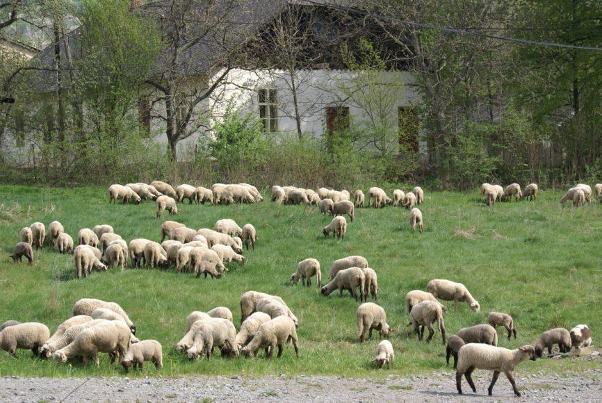 ovce. je stádo komunitou, je komunita stádom? v pozadí zaježovské komunitné centrum...