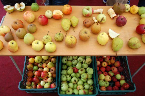 Hodina biológie o jablkách v alternatívnej triede znamenala aj ich ochutnávku. Foto - Autorka