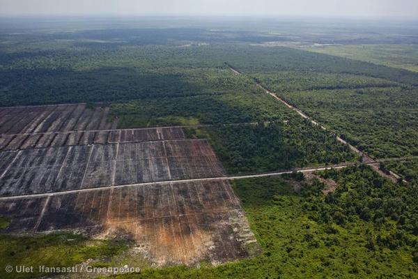 Recent clearance of orangutan habitat inside the PT Globalindo Alam Perkasa Estate II palm oil concession in Kotawaringin Timur, Central Kalimantan. PT GAP II is a subsidiary of Musim Mas.
