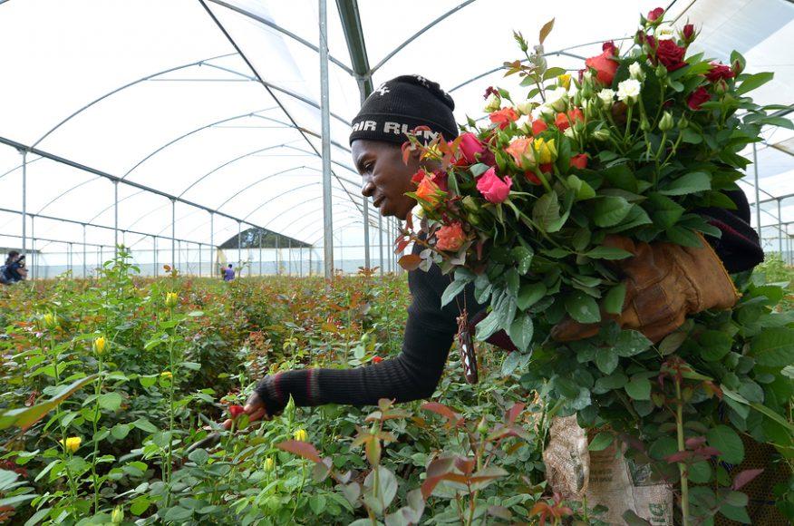 Skleník s ružami na export v Zambii zamestnáva 800 ľudí. FOTO - http://cabbageroses.net