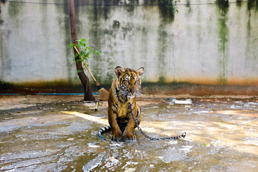 tiger-fotka