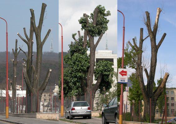 Dekapitovaný strom v priebehu rokov. FOTO - Archív TOmáš Fraňo
