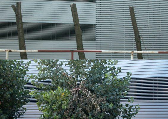 Strom sa snaží nahradiť odrezané konáre. FOTO - Archív Tomáš Fraňo