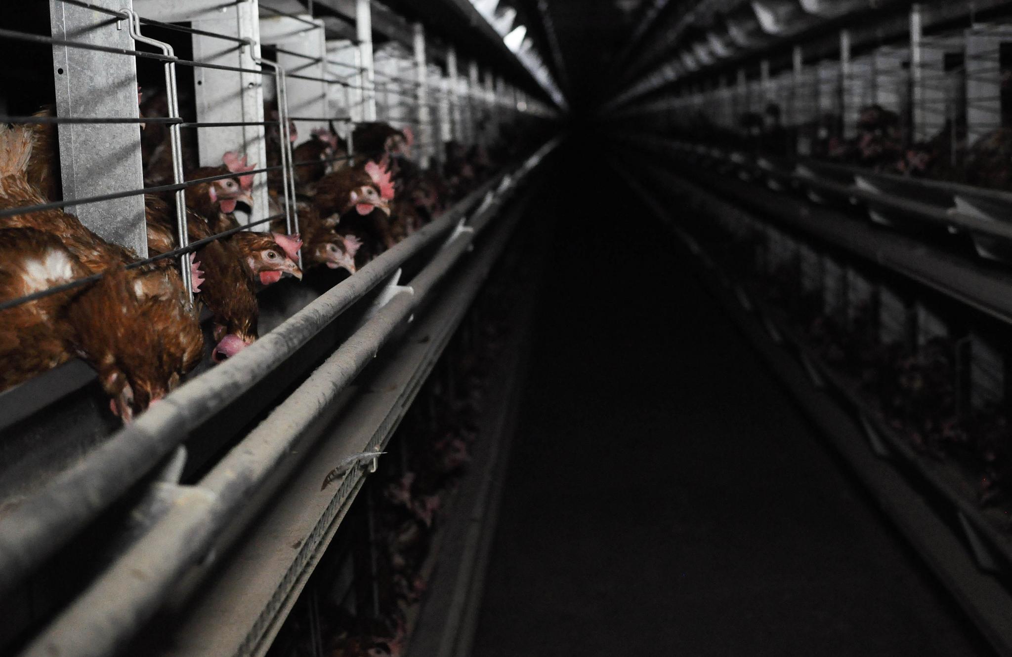 Väčšina slovenských vajec pochádza od sliepok chovaných v klietkach. Nová kampaň sa to snaží zmeniť