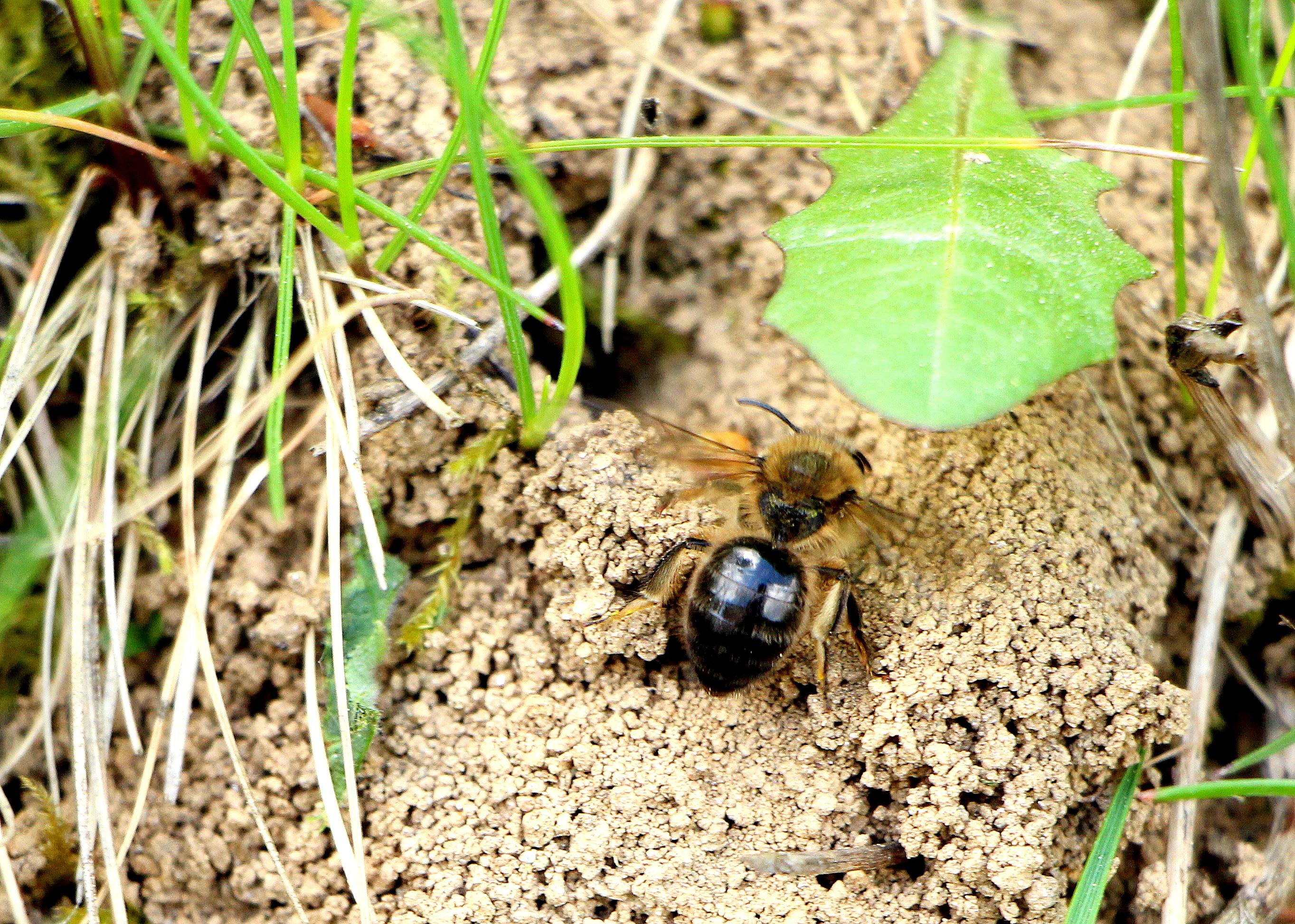 Rastliny neopeľujú iba medonosné včely, ale aj nenápadné včely samotárky. A tie kvôli nám postupne miznú