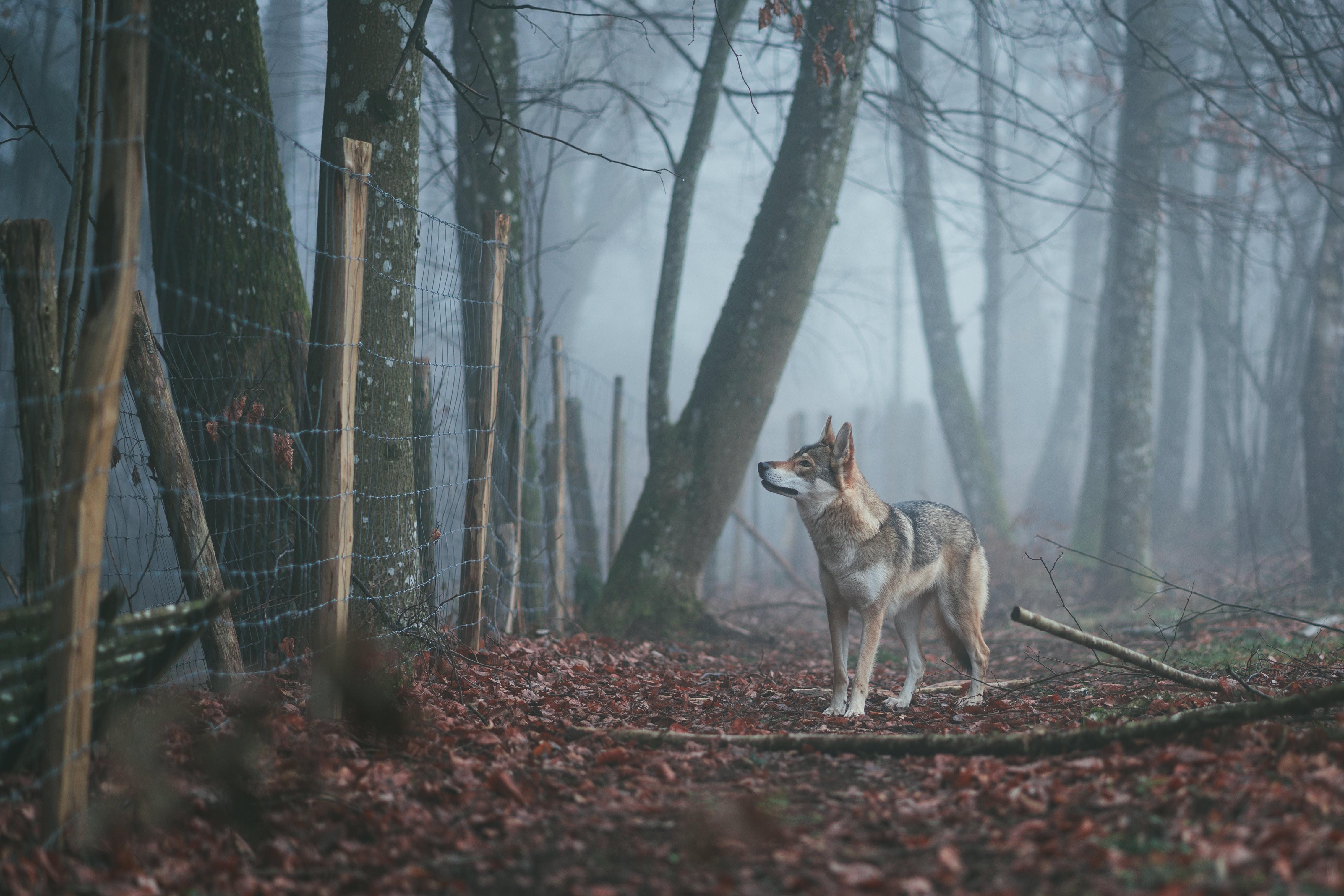 Na Slovensku žije asi 400 vlkov, škodí im rozkúskované teritórium, hovorí ekológ